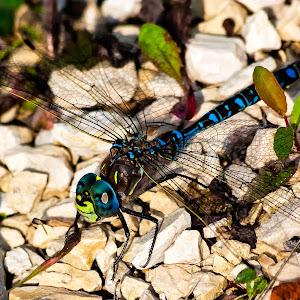 Blue Dragonfly-2.jpg