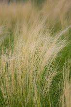 Photo: Grasses in Dallas (c) Christa Laser 2013