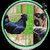 أفكار الدجاج cemani مسابقة APK