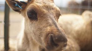 Cattle Battle thumbnail