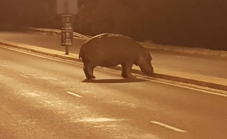 The road was blocked to ensure the safety of the hippo.