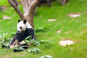 Hong Kong Ocean Park for Pandas