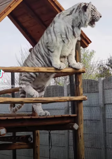 A crèche owner says the fence erected by her neighbours is not high enough to ensure the tigers do not jump into her property, where she keeps a large group of children during the day.