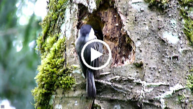 Video: Black-capped Chickadees feeding their young.