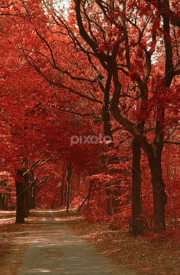 Autumn Red by Ad Spruijt - Landscapes Forests ( fall, color, colorful, nature,  )