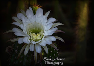 "Photo: ""White Echinopsis"" - © Saija Lehtonen http://saija-lehtonen.artistwebsites.com/featured/white-echinopsis--saija-lehtonen.html  #Flowers #Nature #Cactus #Arizona"