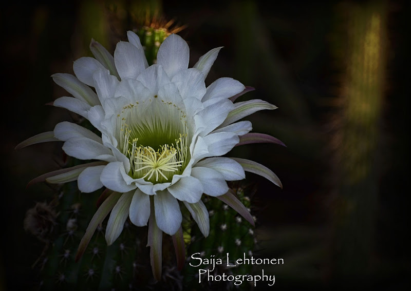 "Photo: ""White Echinopsis"" - © Saija Lehtonen http://saija-lehtonen.artistwebsites.com/featured/white-echinopsis--saija-lehtonen.html  #Flowers #Nature #Cactus #Arizona"