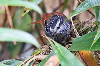 Photo: Rufous-tailed Antbird