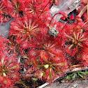 Spoon-leaved Sundew (carnivorous plant)