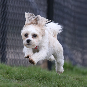 Launched by Peter M  - Animals - Dogs Playing ( canon, flying, poodle, chicago, dog )