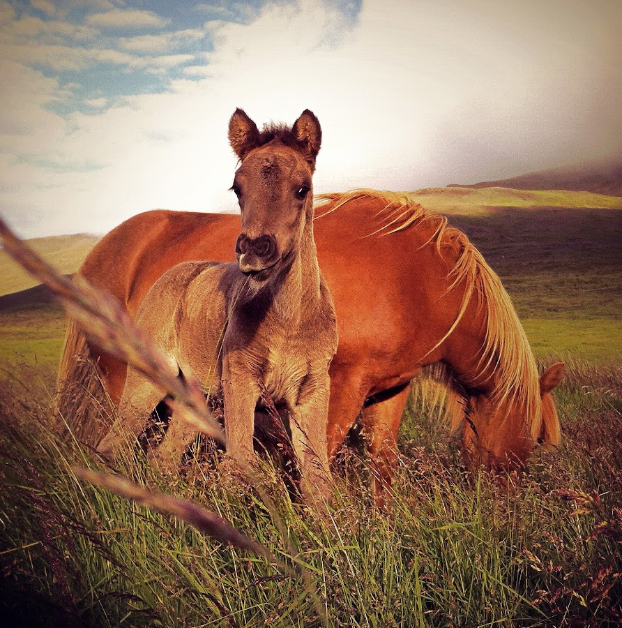 A young foal with it's mother by Kristján Karlsson - Animals Horses
