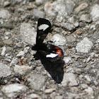 Grapevine Epimenis Moth