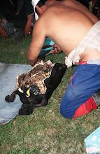 Photo: 03350 ナムジ家/ヤギ石焼料理準備/ボードック/首から下の皮を筒状に剥いだ中に解体した肉と焼石を詰めもどして、外側から火で焼く