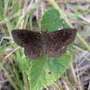 Black Skipper