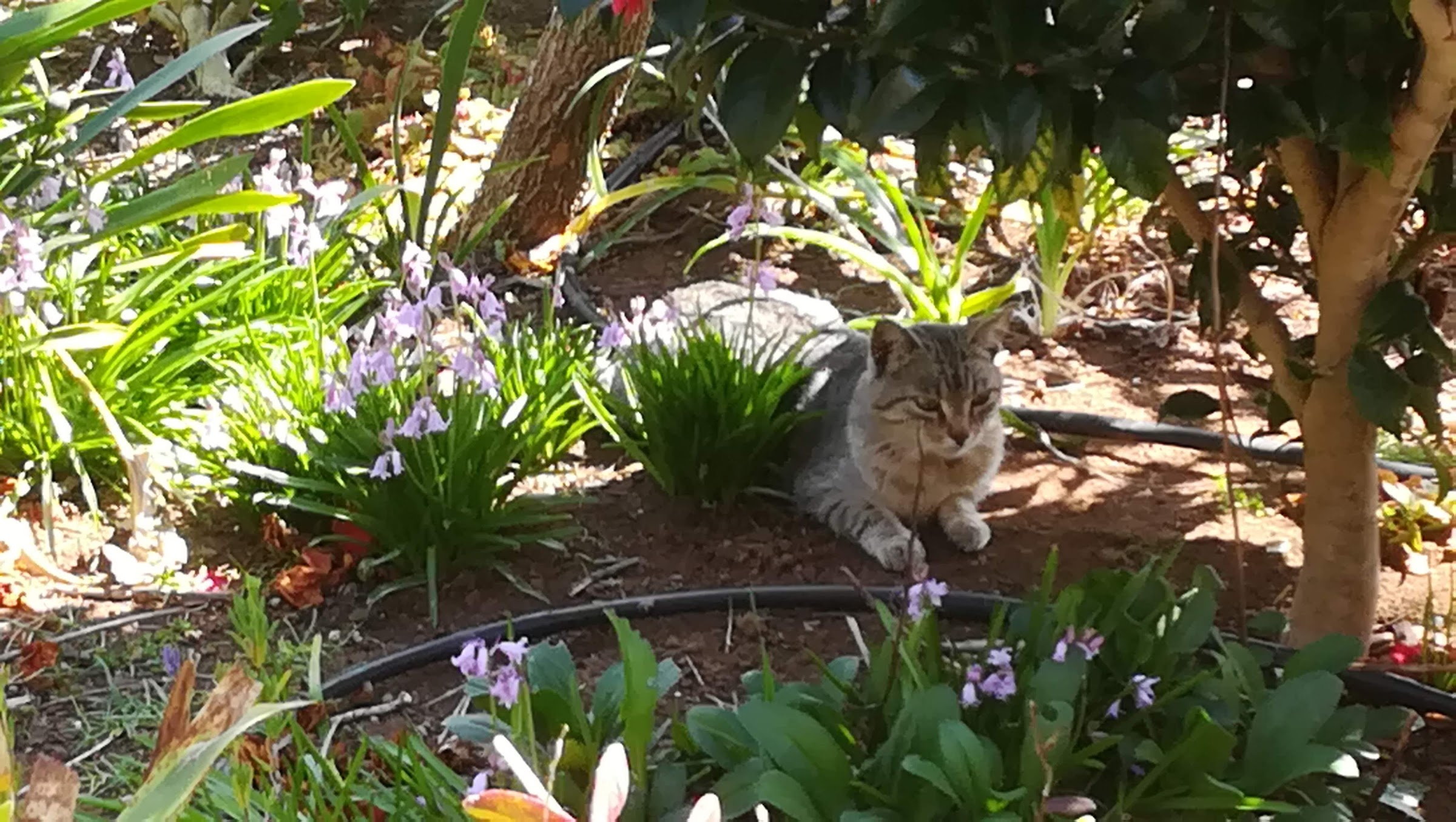 a not quite feral tomcat in our garden. He can take care of himself and keeps vermin away!