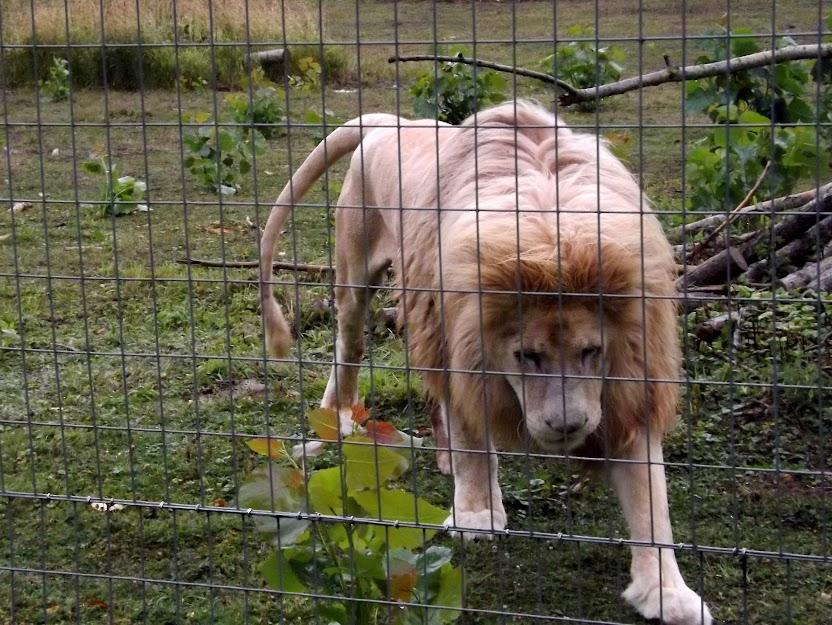 Lion blanc, Parc des Félins - Tous droits réservés