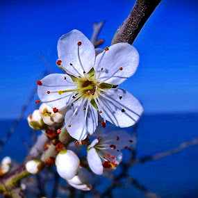 Cherry blossoms by Ciprian Apetrei - Flowers Tree Blossoms ( tree blossoms, ocean, brittany, flowers, cherry blossoms,  )