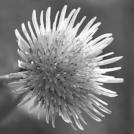 Wild Flower in Mono by Chrissie Barrow - Black & White Flowers & Plants ( wild, monochrome, black and white, petals, grey, mono, flower )