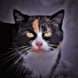 Snowy Calico  by Sue Delia - Animals - Cats Portraits ( feral, snow, cat, winter, calico,  )