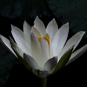 White Water Lily by Bernice Then - Nature Up Close Flowers - 2011-2013 ( watter lilies )