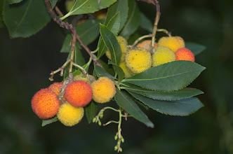 Photo: Arbutus unedo (frutti)