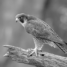 Peregrine Falcon by Debbie Quick - Black & White Animals ( peregrine falcon, raptor, debbie quick, nature, falcon, hudson river, debs creative images, birds of prey, outdoors, bird, alpine, palisades interstate park, stateliness lookout, new jersey, animal, black and white, wild, hudson valley, wildlife )