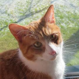 Kip by Marcia Taylor - Animals - Cats Portraits (  )