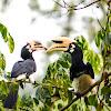 Great Pied Hornbill