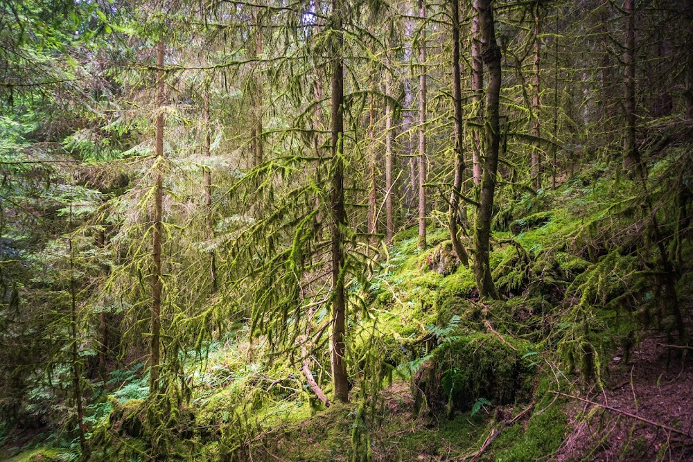 Im Zauberwald hängen die Flechten von den Bäumen und der Boden ist mit Moos bewachsen