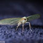 Bad-Wing Moth