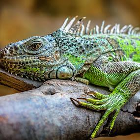 Aguanas by Ashraf Jandali - Animals Reptiles