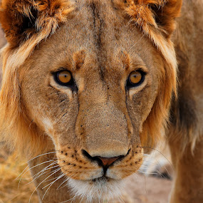 Young lion by Gregoire Meyer - Animals Lions, Tigers & Big Cats ( look, cats, lion, wild life, south africa, threatening, wildlife, young, eyes )