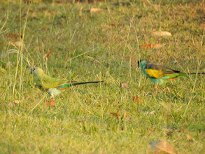 Photo: Hooded Parrots at Pine Creek