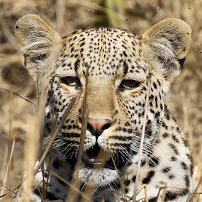 Curious cub by Sheila Grobbelaar - Animals Lions, Tigers & Big Cats ( leopard )