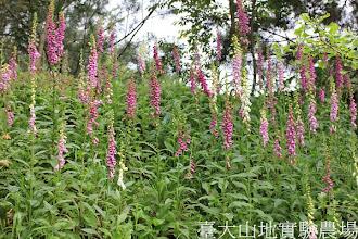 Photo: 拍攝地點: 梅峰-伴月坡邊坡 拍攝植物: 毛地黃 拍攝日期:2012_05_09_FY