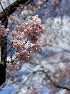 県立博物館の桜、2020