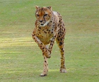Shiley the cheetah at San Diego Safari Park.