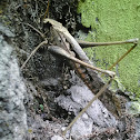 Dead Leaf Mimic Katydid