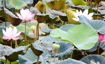 Photo: Day 317 - A Lotus Pond #2