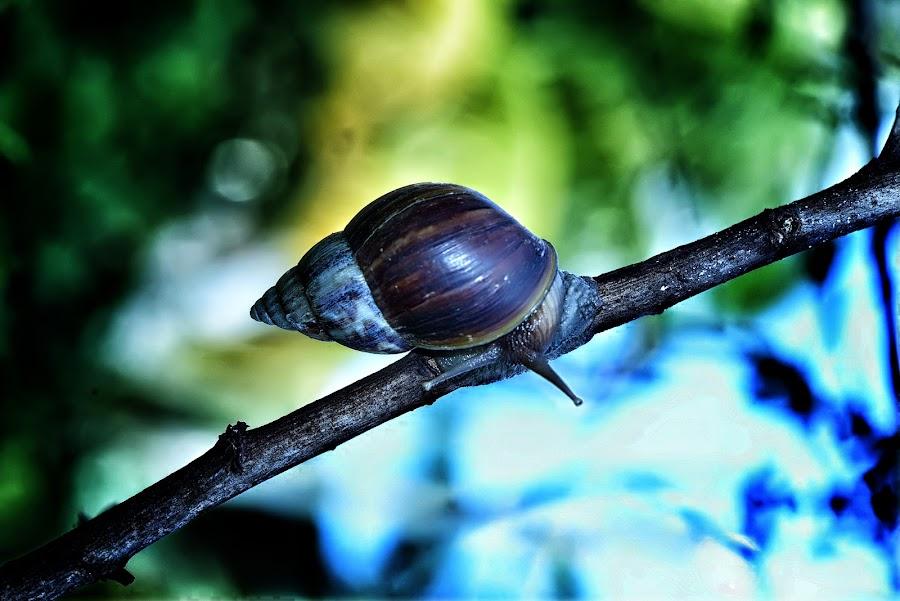 Bekicot... by Joni Alir - Animals Amphibians
