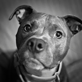 Black and White Dog by Gabriela Carrusca - Animals - Dogs Portraits ( blackandwhite, portraitofanimals, doggy, blackandwhitedog, pitbull, dog portrait, dog )