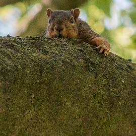 Just Hangin' Out by Anita Frazer - Animals Other Mammals ( squirrel, mammal, animal )