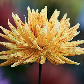 Dahlia 9482~ by Raphael RaCcoon - Flowers Single Flower