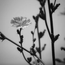 Wildflowers  by Todd Reynolds - Black & White Flowers & Plants