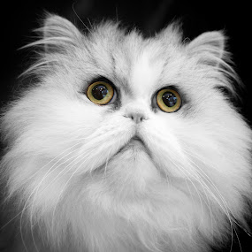 Bailey by Julie Anderson - Animals - Cats Portraits (  )