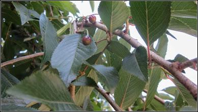 """Photo: Cires pendul (Prunus Avium """"Pendula"""") din Piata 1 Decembrie 1918, zona monument - 2017.06.10"""