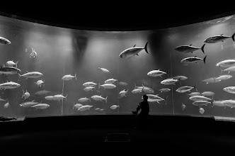 Photo: A man watches tuna swim by at an aquarium in Kasairinkai Park in Tokyo, Japan
