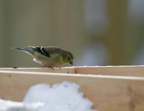 Photo: American goldfinch