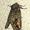 Oblique Heterocampa Moth