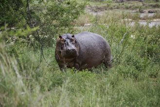 Photo: Hippo on land